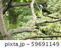 飛ぶ宝石 青いしあわせの鳥 カワセミ 59691149