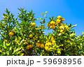 鈴なりの柚子 59698956