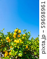 鈴なりの柚子 59698961