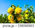 鈴なりの柚子 59698963