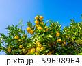 鈴なりの柚子 59698964