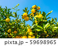 鈴なりの柚子 59698965