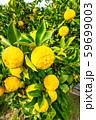 鈴なりの柚子 59699003