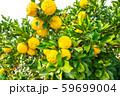 鈴なりの柚子 59699004