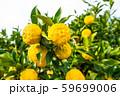 鈴なりの柚子 59699006