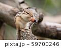 ドングリを食べるシマリス 59700246