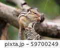 ドングリを食べるシマリス 59700249
