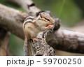 ドングリを食べるシマリス 59700250