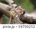 ドングリを食べるシマリス 59700252