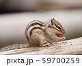 ドングリを食べるシマリス 59700259