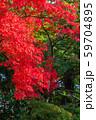 東京都 高尾山参道のモミジ 59704895