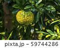 獅子柚子 59744286