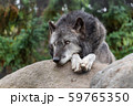 シンリンオオカミ 59765350