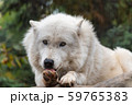 シンリンオオカミ 59765383
