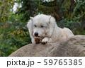 シンリンオオカミ 59765385