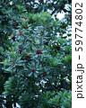 山桃 ヤマモモの実 59774802