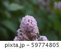 ライラック 花言葉は「初恋」 59774805