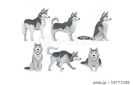 Siberian Husky Vector Set. Purebred Doggy in Different Poses 59777296