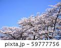青空と桜 59777756