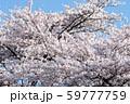 青空と桜 59777759