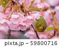 河津桜とメジロ 59800716