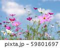 青空の下のピンクのコスモスの花 59801697