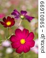 濃いピンクのコスモスの花のアップ 59801699