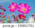 青空の下のピンクのコスモスの花のアップ 59801701