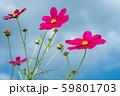 青空の下の濃いピンクのコスモスの花 59801703