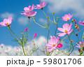 青空の下の薄いピンクのコスモスの花 59801706