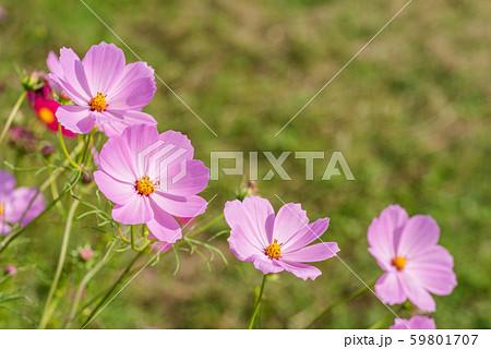 草むらをバックにピンクのコスモスの花 59801707
