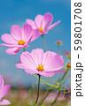 青空の下の薄いピンクのコスモスの花のアップ 59801708