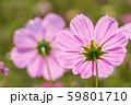 ピンクのコスモスの花の裏のアップ 59801710