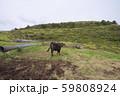 知夫里島の牛(島根県隠岐郡知夫村) 59808924