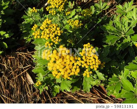 検見川浜の散歩道のイソギクの黄色い花と蕾 59813191