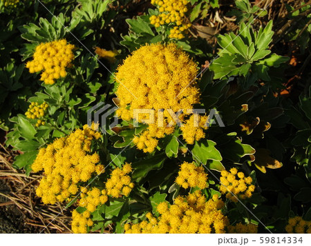 検見川浜の散歩道のイソギクの黄色い花と蕾 59814334