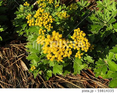 検見川浜の散歩道のイソギクの黄色い花と蕾 59814335