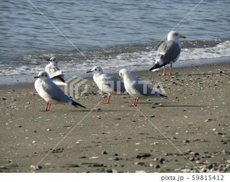 検見川浜の岸壁で一休み中のユリカモメ 59815412
