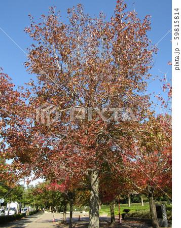 こじま公園の紅葉したケヤキの大木 59815814