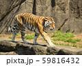 【トラ、虎】アムールトラ 59816432