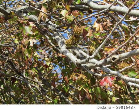 いがぐりの様に見える果実は集合果のモミジバフウ 59816437