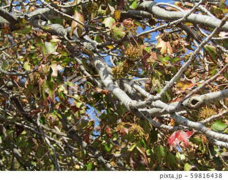 いがぐりの様に見える果実は集合果のモミジバフウ 59816438
