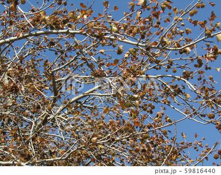 いがぐりの様に見える果実は集合果のモミジバフウ 59816440