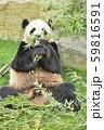 笹の葉を食べるパンダ 59816591