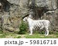 ホワイトタイガー 59816718