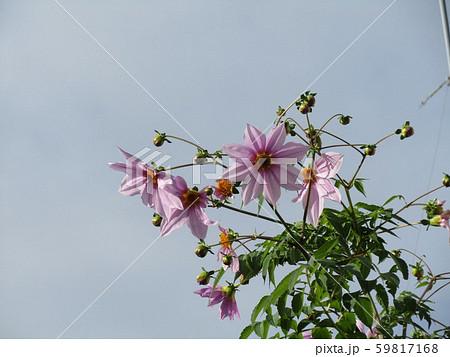 秋の青空を彩る背の高いダリアはコウテイダリア 59817168