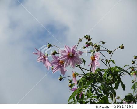秋の青空を彩る背の高いダリアはコウテイダリア 59817169