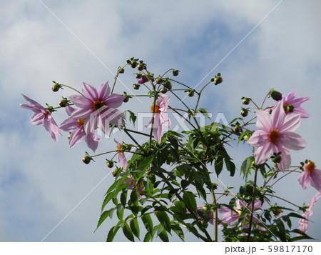 秋の青空を彩る背の高いダリアはコウテイダリア 59817170