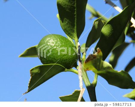 まだまだ未熟なキンカンの緑色の実 59817713