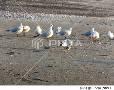 夕日を浴びて休憩中の冬の渡り鳥ユリカモメ 59819094